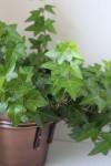 English ivy, hedera helix