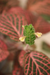 Fittonia Flower Painted Net Leaf Plant