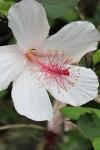 Hibiscus Waimea Flower
