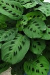 Maranta common name Prayer Plant