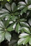Interior Landscape Plant, Schefflera Arboricola