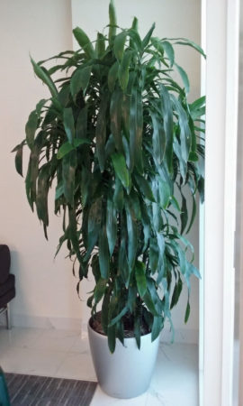 Indoor Plants Care Dracaena Lisa Cane